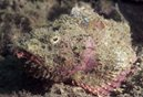 Yellowfin Scorpionfish