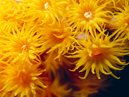 Yellow Zoanthids